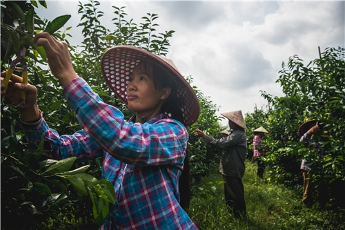 1.广西马山县沃柑产业园中,村民正在修剪枝条.jpg